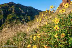 Bush sunflower along the northeast ridge of Ladyface