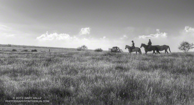 Black and white photograph of a pregnant mare being exercised.