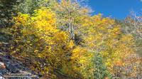 Gold hues of big leaf maple along the Big Horn Mine Trail.