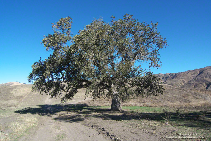 A photo taken a month after the October 2008 Sesnon Fire of a large valley oak along Rocky Peak fire road that toppled in the summer of 2016, following five years of drought. Some of the trees foliage may have been scorched, otherwise there appears to have been little impact from the fire.
