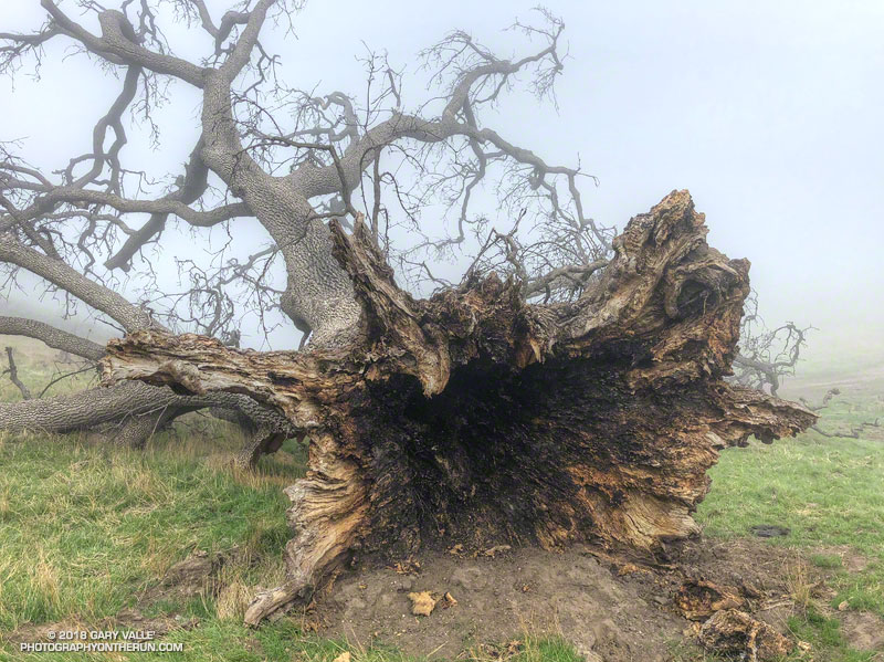 The hollow interior of this large valley oak appears to have been burned, possibly during the 2003 Simi Fire. The fallen oak is located on the north end of Rocky Peak fire road.