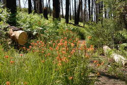 Ferns and paintbrush along the South Fork Trail, in an area burned by the 2015 Lake Fire.