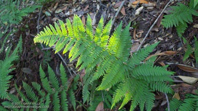 Ferns along the Backbone Trail
