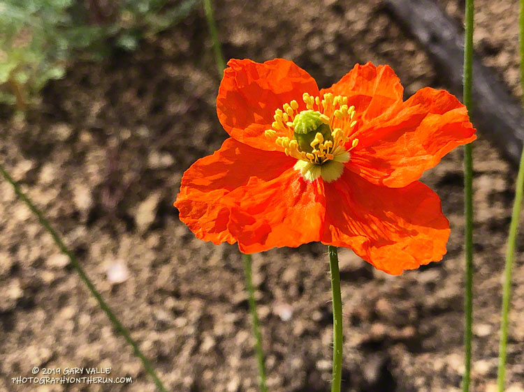 Fire poppy (Papaver californicum), a fire follower, along the Backbone Trail west of Sandstone Peak. May 18, 2019.