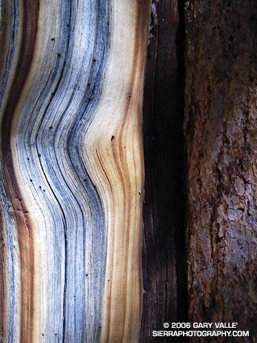 Abstract photograph of the trunk of a Foxtail pine.