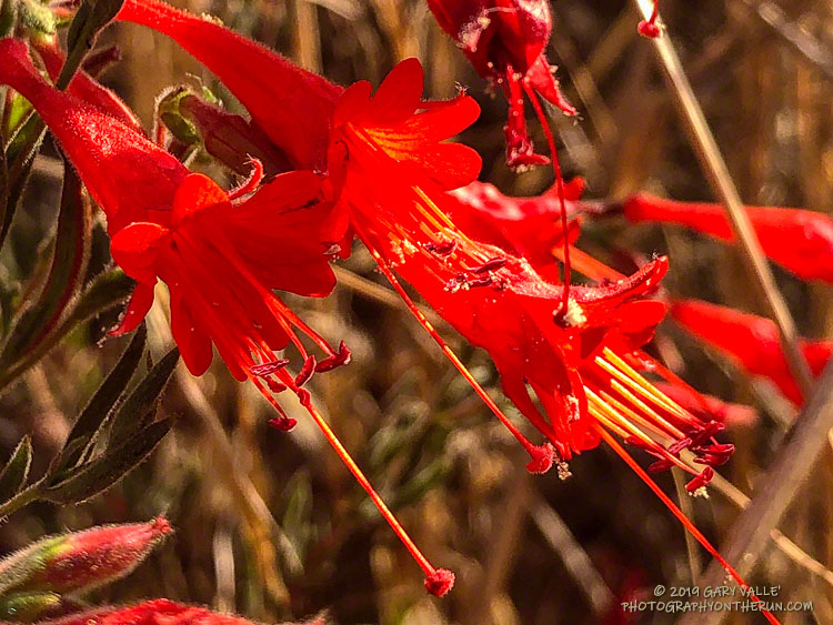 California fuchsia in Upper Las Virgenes Canyon Open Space Preserve