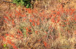 California fuchsia along Bulldog Mtwy fire road in Malibu Creek State Park.