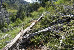 Mass of trees down on the Gabrielino Trail. July 11, 2020.