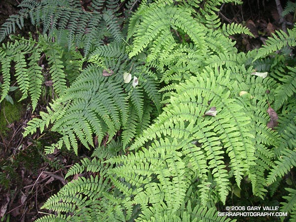 Ferns along the Garapito Trail, Topanga State Park.