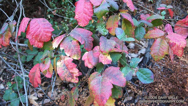 Poison oak along the Garapito Trail in Topanga State Park.