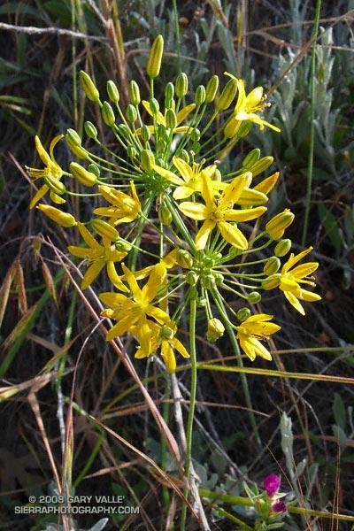 Common goldenstar (Bloomeria crocea)