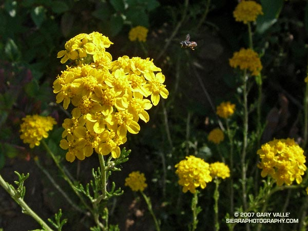 Perfectly sized to work the minute central disk flowers of golden yarrow, a tiny insect -- perhaps a species of bee fly -- hovers a few millimeters from the plant.