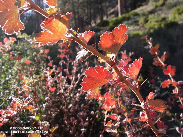 Autumn color in the leaves of gooseberry (prob. Ribes roezlii) at about 7500 ft. on the Vivian Creek trail.