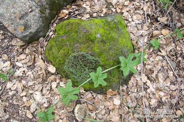 Study of moss, lichen, and wild cucumber vine.