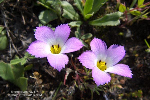 Ground pink (Linanthus dianthiflorus) at Sage Ranch Park.