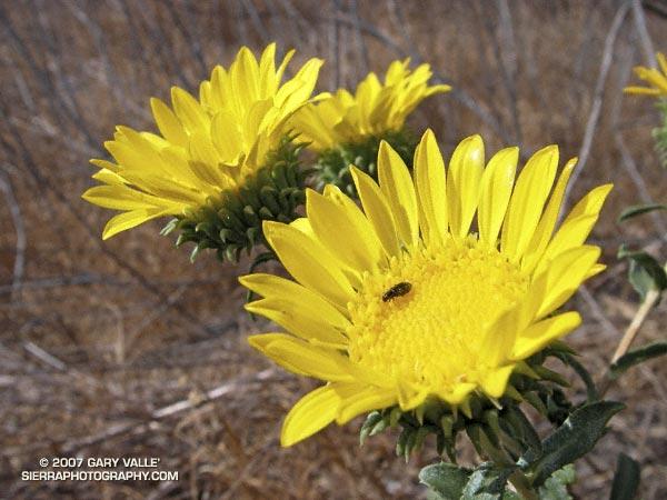 Gumplant (Grindelia hirsutula var. hirsutula) in Upper Las Virgenes Canyon Open Space Preserve