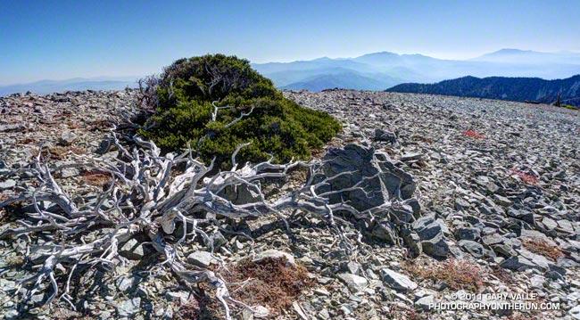 Curl leaf mountain mahogany (Cercocarpus ledifolius var. intermontanus) on Mt. Harwood