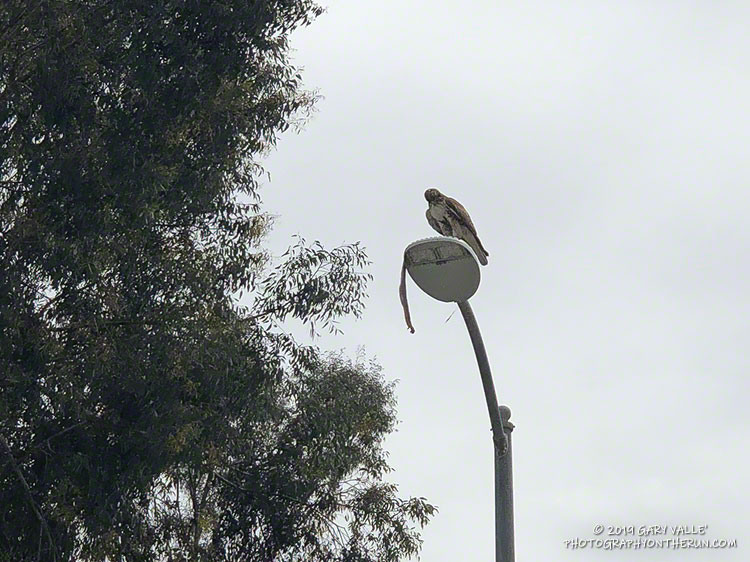 Red-tailed hawk with gopher snake at Upper Las Virgenes Canyon Open Space Preserve (aka Ahmanson Ranch).