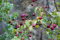 Holly-leaved cherry, a favorite of coyotes and black bears in Southern California.