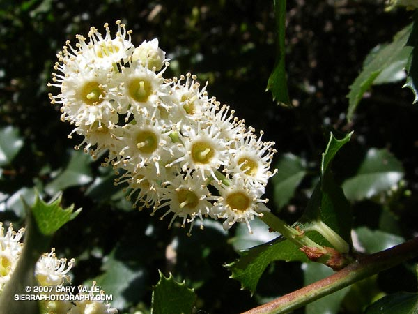 The feathery blossoms of the holly-leaved cherry (Prunus ilicifolia) reveal a peculiar flower whose many stamens resemble the tentacles of a sea anemone.