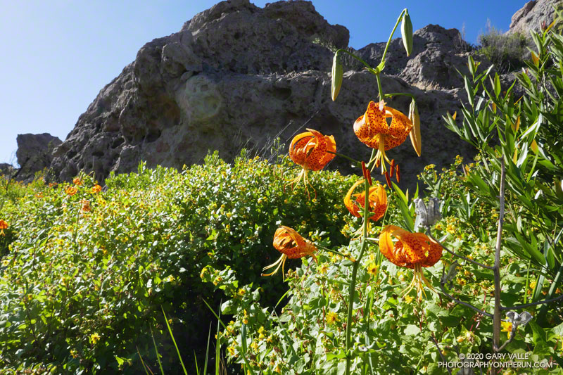 Humboldt lily (Lilium humboldtii ssp. ocellatum) and canyon sunflower on the north side of Tri Peaks. The north side of the peak was a mass of canyon sunflower and recovering bay trees. June 7, 2020.