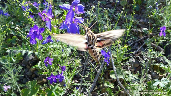 hummingbird moth feeding on spreading larkspur