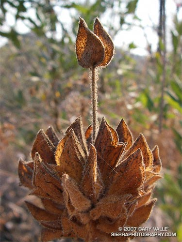 A study of a dessicated stalk of hummingbird sage (Salvia spathacea) at Sage Ranch Park in Southern California.