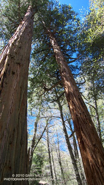 Towering Incense Cedars in Cooper Canyon in the San Gabriel Mountains, near Los Angeles.