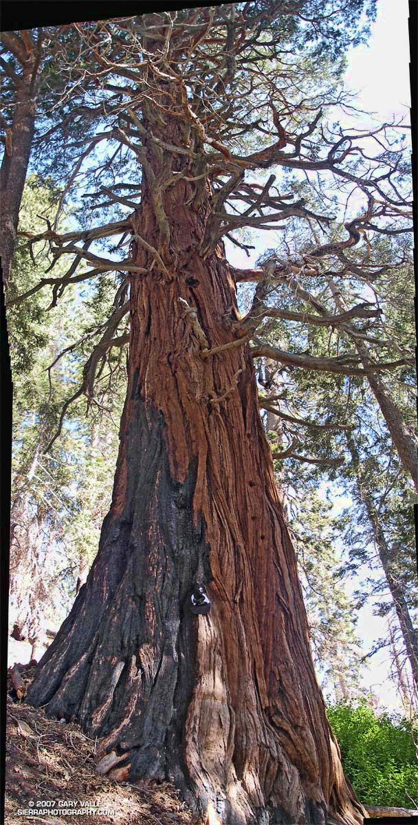 Vertical panorama of large incense cedar near Little Jimmy Spring in the San Gabriel Mountains.