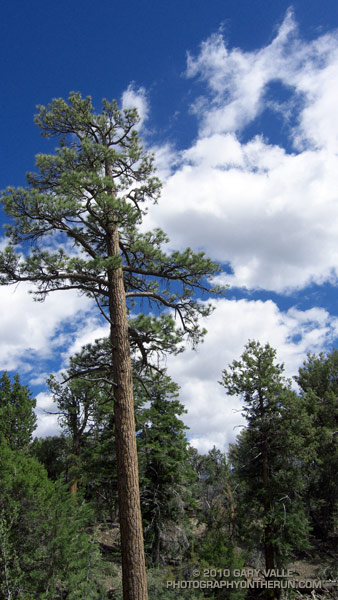 Jeffrey pine on the Cougar Crest Trail, near Big Bear Lake.