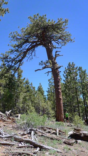 Jeffrey pine near Grouse Mountain