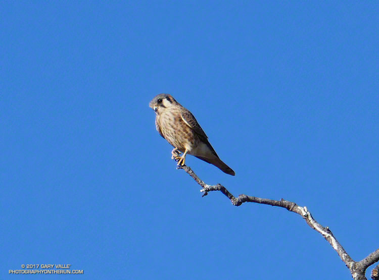 An American Kestrel (female) at Upper Las Virgenes Canyon Open Space Preserve.