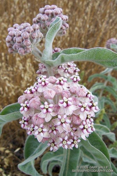 Kotolo milkweed (Asclepias eriocarpa)