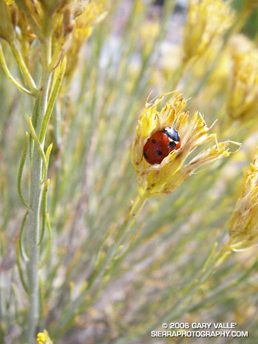 Seven-spotted Lady Beetle on Rabbitbrush at 9400 ft.