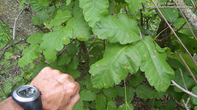 Large poison oak leaves