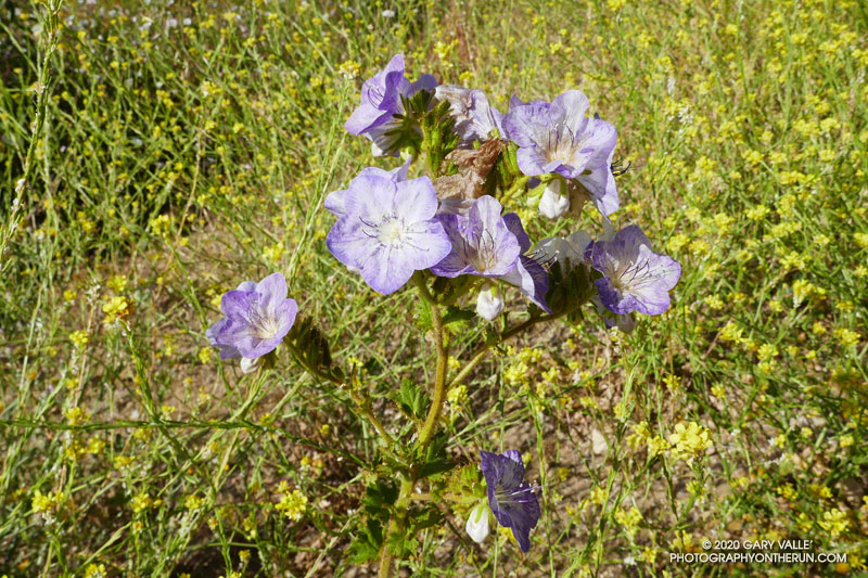 Large-flowered phacelia (Phacelia grandiflora) along Bulldog Mtwy fire road in Malibu Creek State Park. The species is more prevalent following a fire. May 24, 2020.