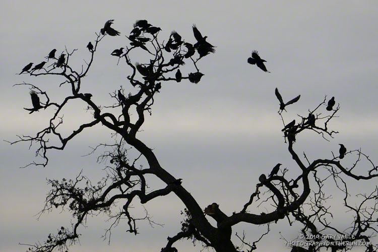 A few of the crows congregating on Lasky Mesa this Fall (2019)