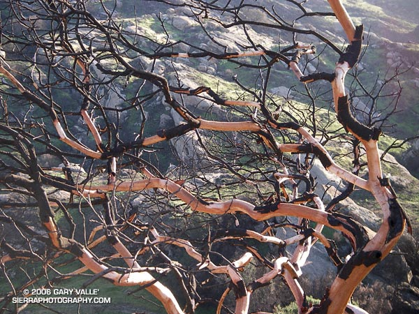 Fire-sculpted limbs of a Laurel Sumac in Black Canyon, near Simi Valley.