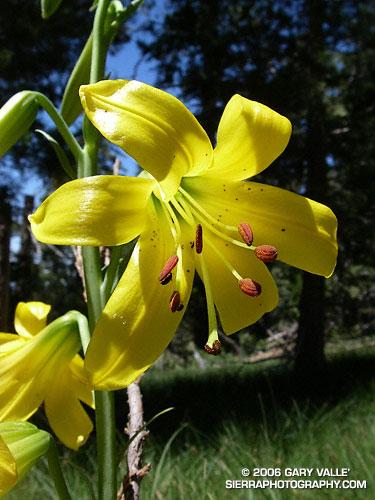 Lemon Lily (Lilium parryi)