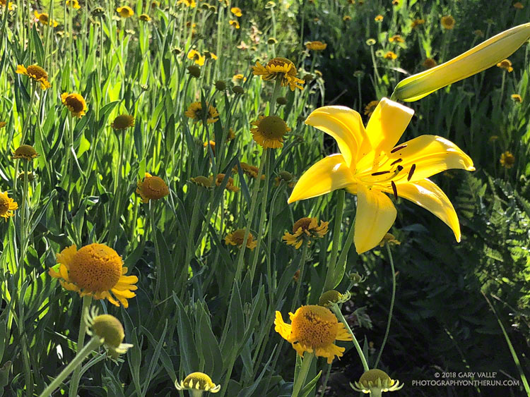 Lemon lily and sneezeweed at Waterman Meadow in the San Gabriel Mountains.