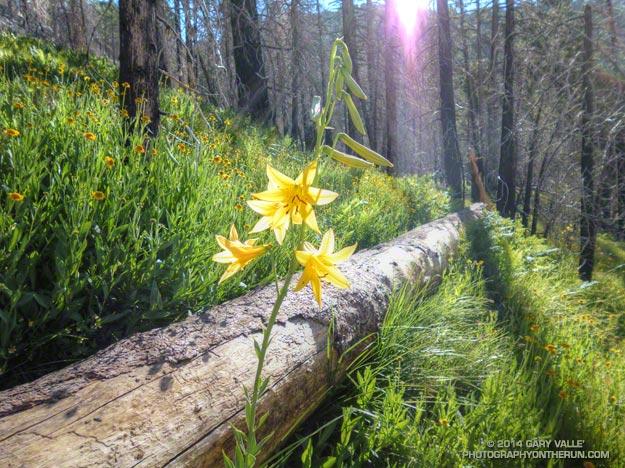 Lemon lily along the Three Points - Mt. Waterman Trail. border=0 src=