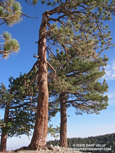 Jeffrey Pine on the North Backbone Trail that was struck by lightning.