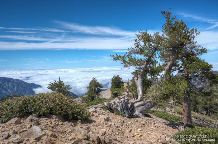 A weather-beaten limber pine near the summit of Mt. Baden-Powell.
