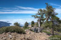 Weather-beaten limber pine near the summit of Mt. Baden-Powell. Photography by Gary Valle.