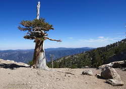 A weather-beaten lodgepole pine at Limber Pine Bench on the San Bernardino Peak Divide Trail.