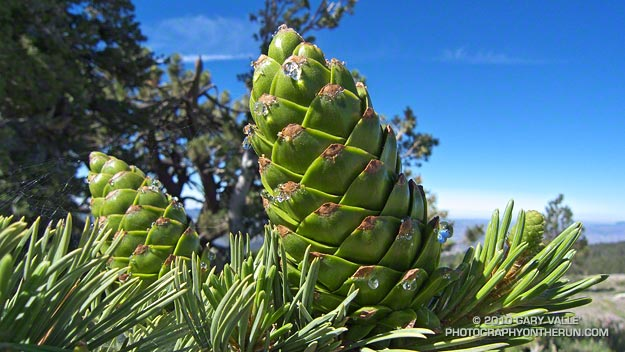 Developing Limber pine cones