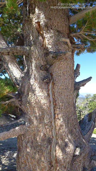 The scar on this limber pine near the summit of Mt. Baden-Powell was probably the result of a lightning strike. August 17, 2013.