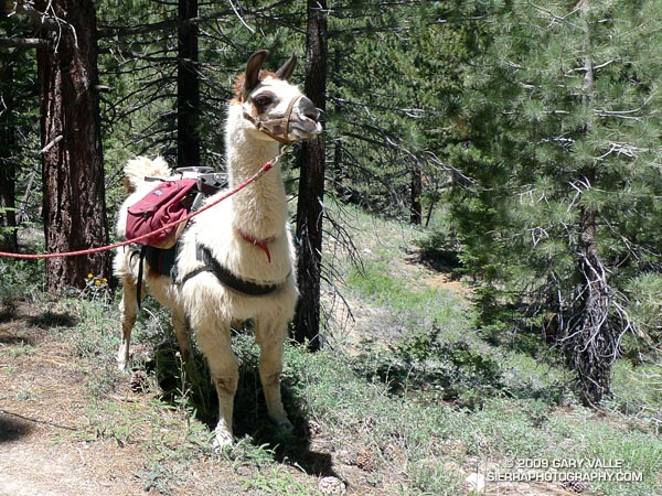 Llama on the trail/road up to the Condor Observation Site and summit of Mt. Pinos. I thought I was back in Peru!