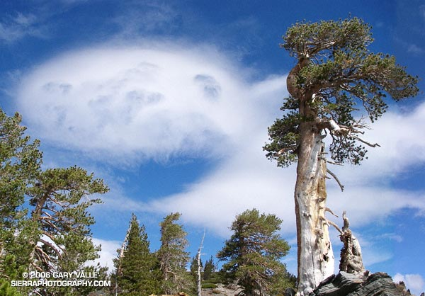 Lodgepole Pine and distorted mountain wave clouds.