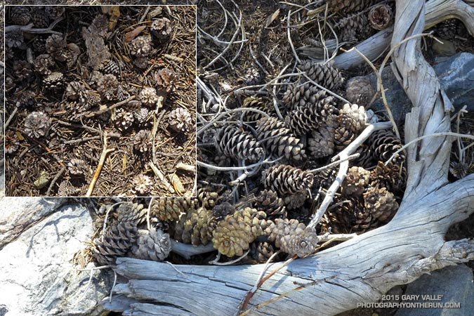 The cones of the Lodgepole pine (inset) are much smaller than the cones of the Limber Pine.